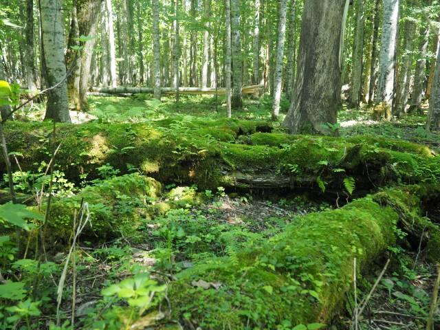 苔むす倒木
