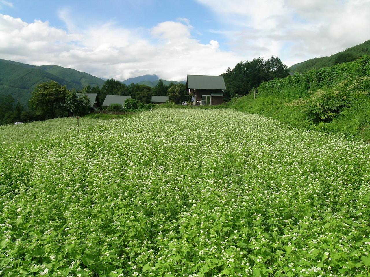 長野県 そば畑(奈川)