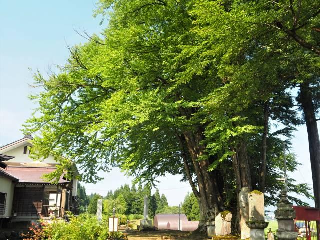 境内のカツラの木