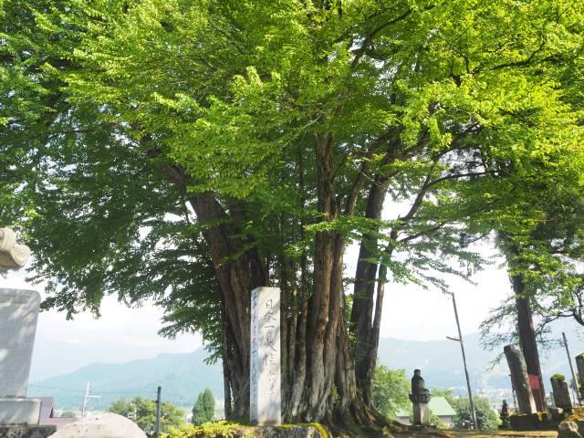 カツラの木と石碑