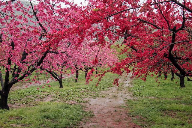福島県飯坂温泉花ももの里の桃の木