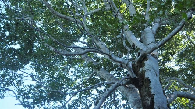 ブナの木の上