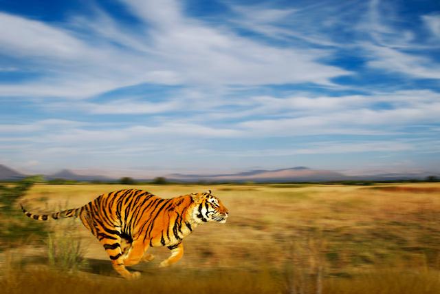 草原を走る虎