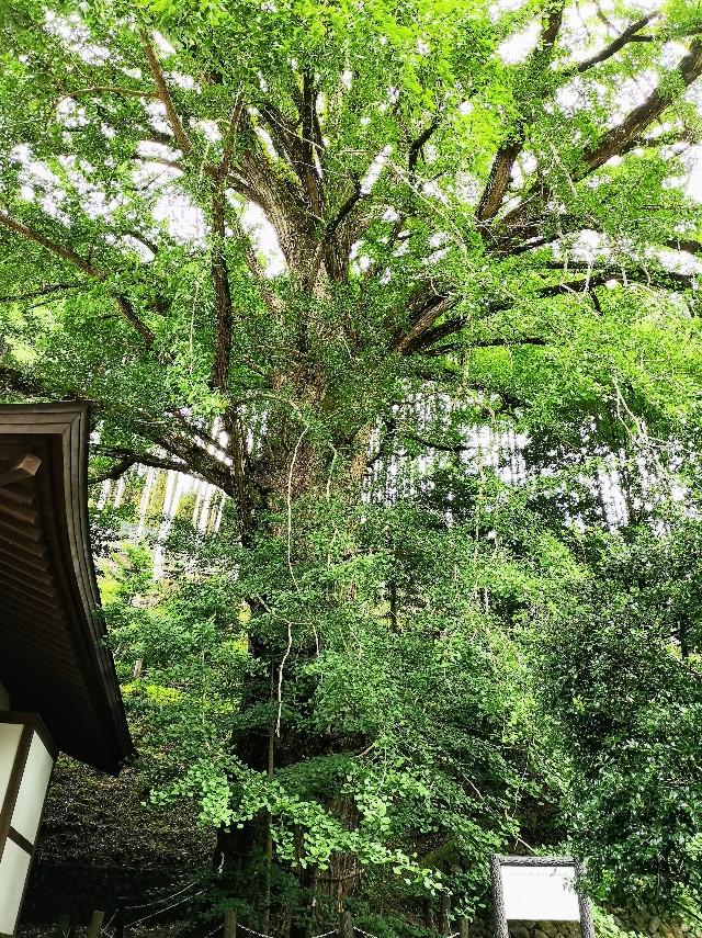 奈良県吉野郡・「来迎院」大銀杏の木