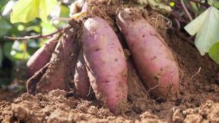 芋掘りのイメージ