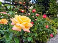 東京都練馬区・練馬区立 四季の香ローズガーデン「香りのガーデン」大輪のバラ2