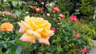 東京都練馬区・練馬区立 四季の香ローズガーデン「香りのガーデン」大輪のバラ